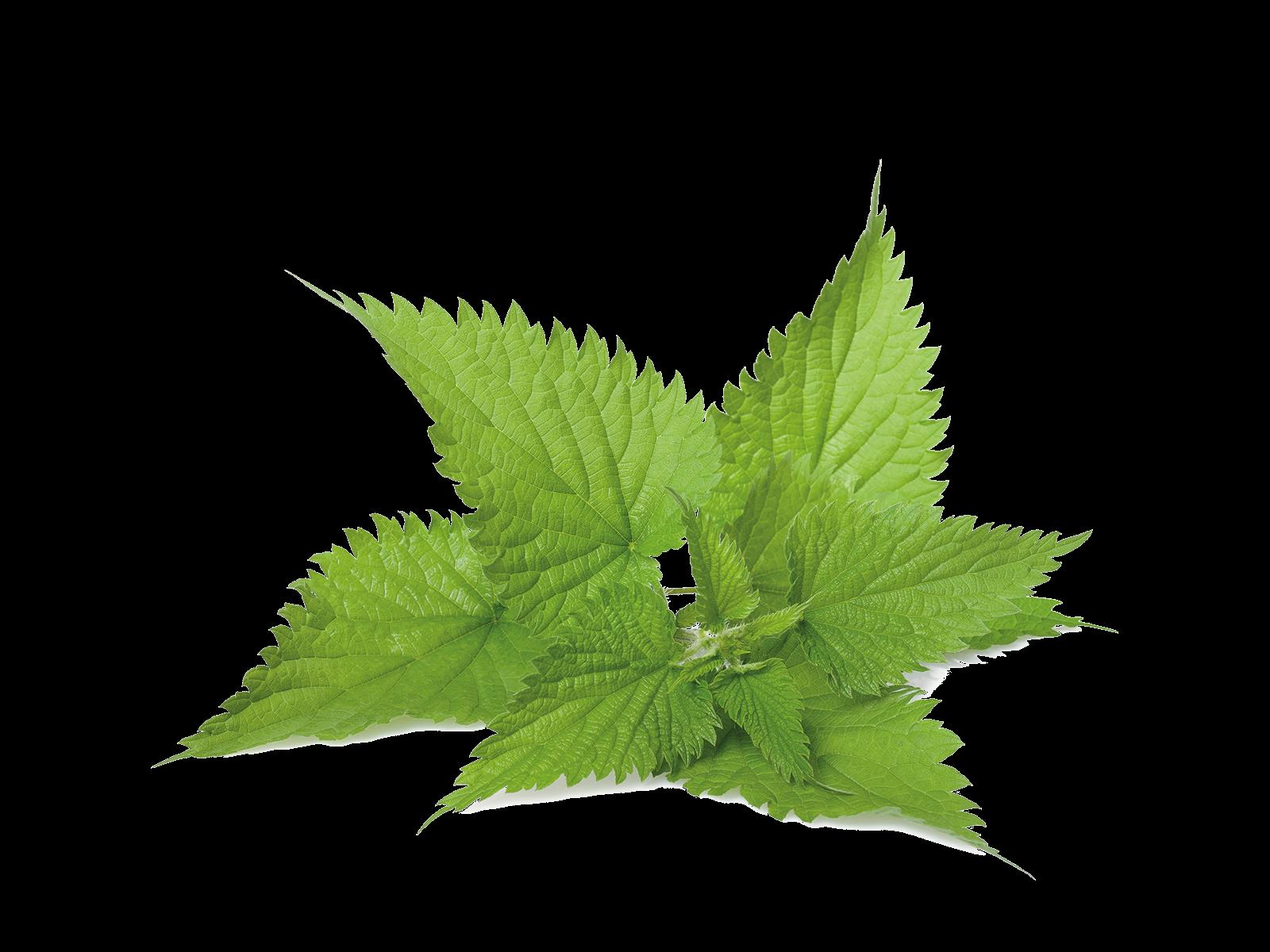 Brennessel aus dem Produkt Kräuter Brennnessel Blätter für Nager von Speers Hoff