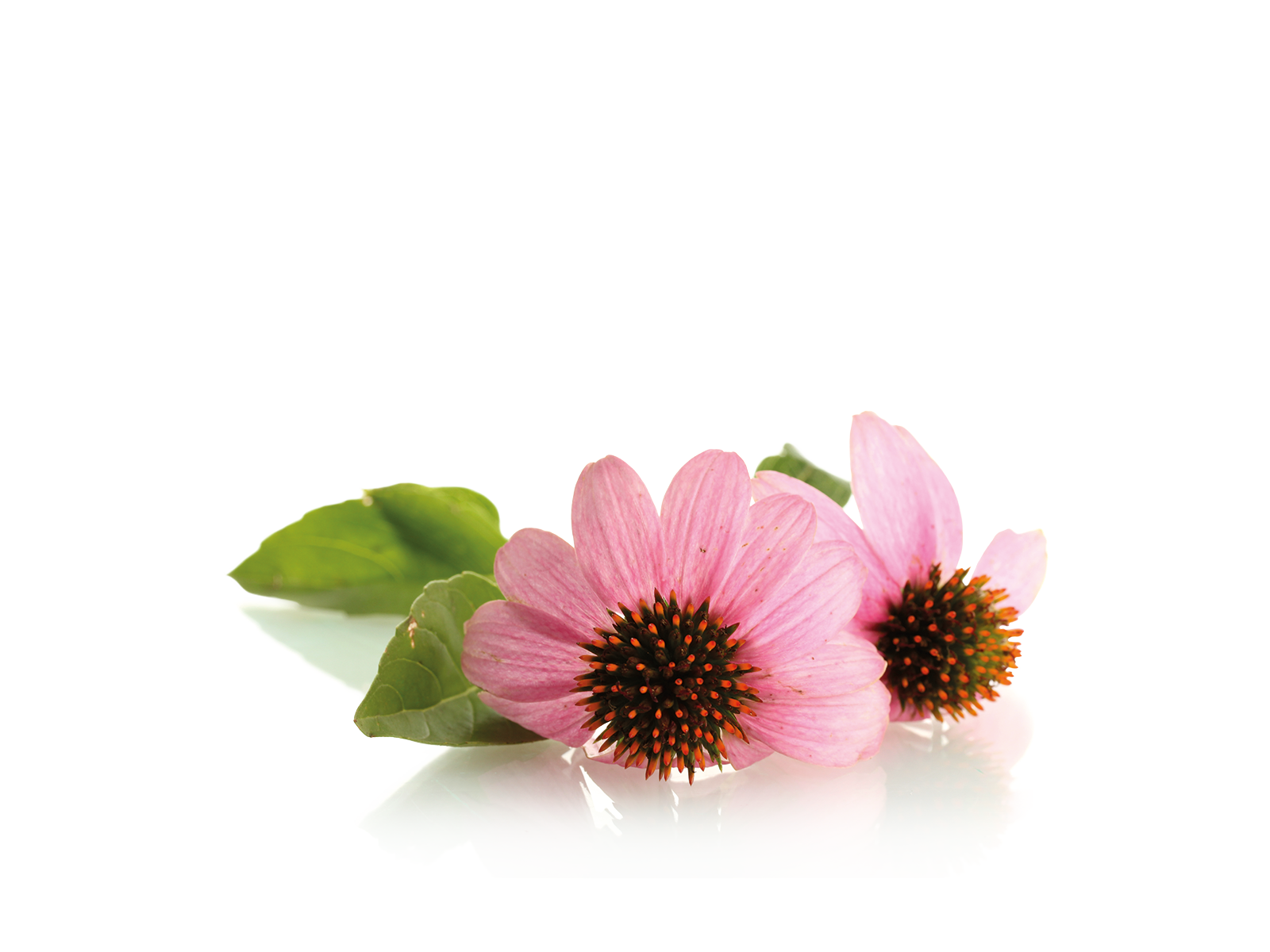 Blüten und Stängel Echinacea aus dem Produkt Kräuter Echinacea Sonnenhut für Nager von Speers Hoff
