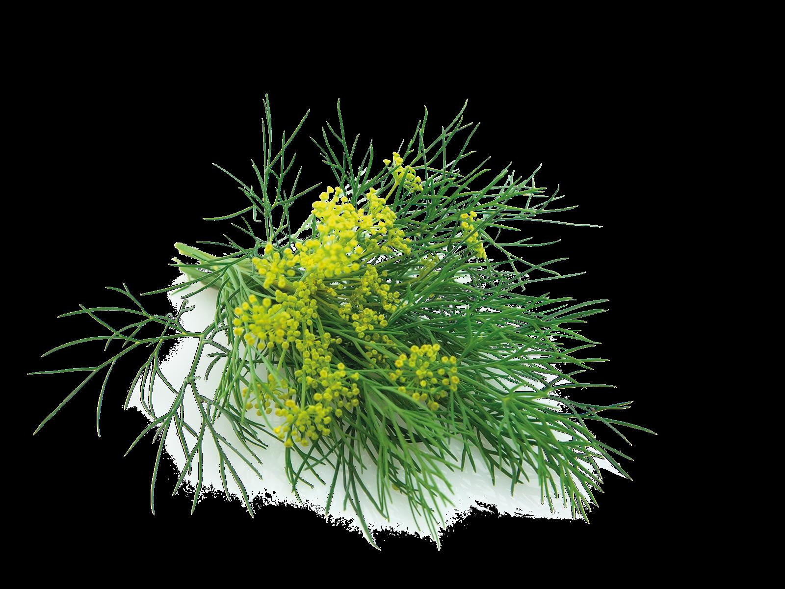 Blätter und Stängel Fenchel aus dem Produkt Kräuter Fenchel für Nager von Speers Hoff