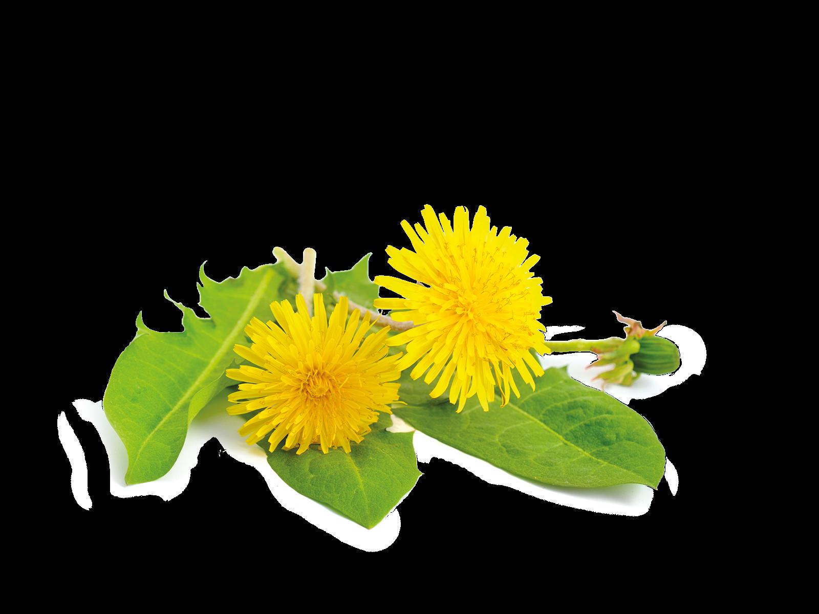 Blätter und Stängel Löwenzahn aus dem Produkt Kräuter Löwenzahn für Nager von Speers Hoff