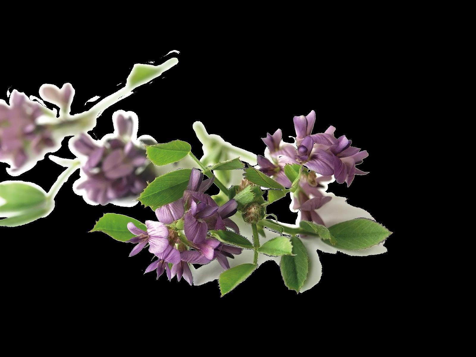 Blätter und Stängel der Luzerne aus dem Produkt Kräuter Luzerne Klee für Nager von Speers Hoff
